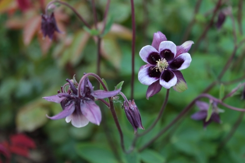 Aquilegia 'William Guiness'
