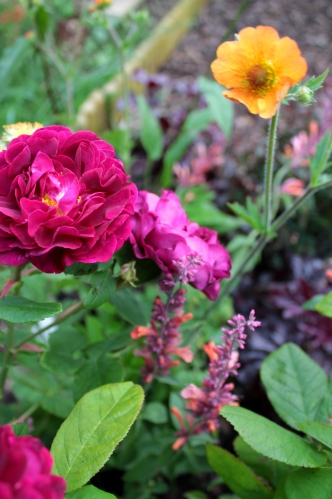 Rosa 'Tuscany Superb' and Geum 'Totally Tangerine' with Agastache 'Tangerine Dream'