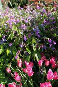 Lathyrus vernus with Tulipa 'Little Beauty'